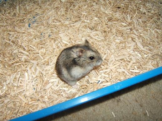Flippy, hamsterette russe de 2 mois